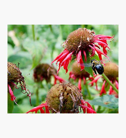"Bumble Bee 3 ""slim pickings"" Photographic Print"