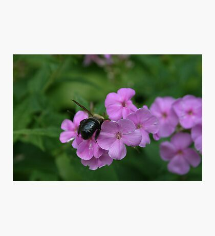 """Bumble Bee 4 """"I think I can"""" Photographic Print"""
