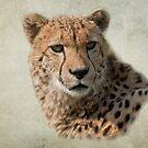 Cheetah (Acinonyx jubatus) by Foxfire