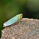 Leafhopper Cicadellidae by Gareth Jones