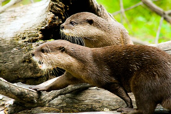 Otters by Michelle Callahan