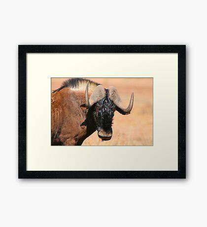 Black Wildebeest Framed Print