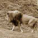 Lion walking by Klaus Bohn