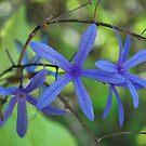 Blue stars by Tracey Hampton