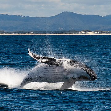 Humpback by drec