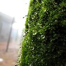 Rain drops on moss by Shiju Sugunan