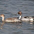 Cruising Pintails. by Ron117