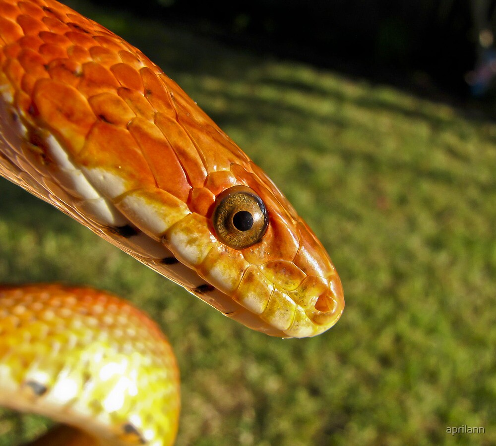 Fluffy - corn snake by aprilann