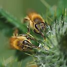 Two honeybees and a thistle by Al Williscroft