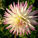 Pink Tipped Dahlia by Barry Norton