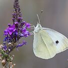 Cabbage white not on a cabbage by yampy