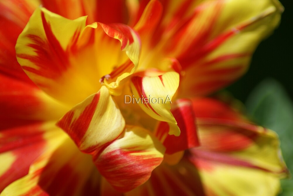 Red and Yellow Flower by DivisionA