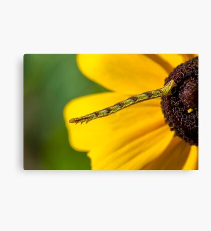 Inchworm Reaching out  Canvas Print