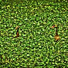"""Hide and Seek"" - Whistling Ducks In The Green by ArtThatSmiles"