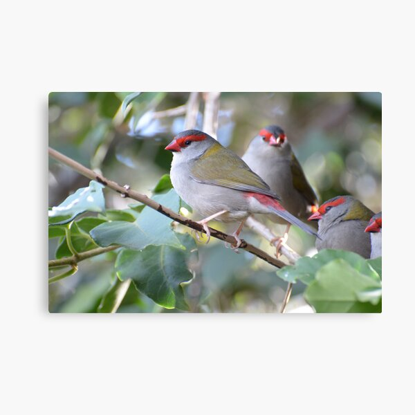 Red-browed Finch - Neochmia temporalis Canvas Print