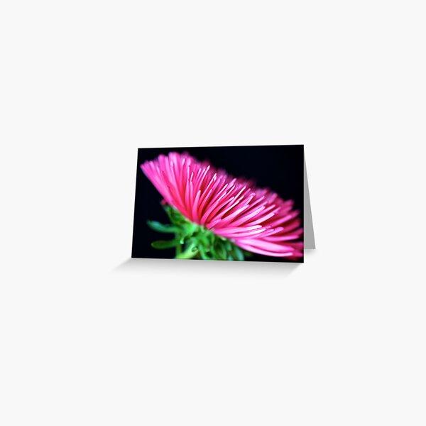 Pink Aster Greeting Card