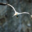 Gannet in Flight #1 by Chris West