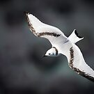 Juvenile Kittiwake in Flight #3 by Chris West
