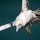 Gannet in Flight #2 by Chris West