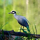 Yellow Crowned Night Heron by Ann Reece