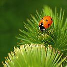 Xena Coccinellidae by hardhhhat
