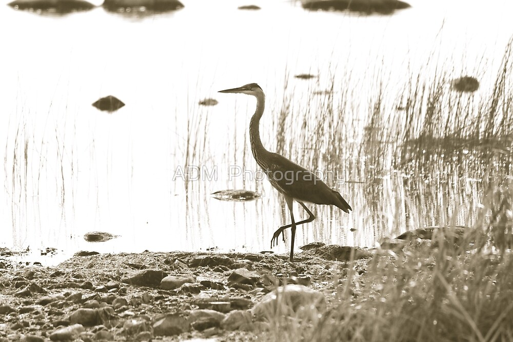 Heron II by Amber D Hathaway Photography