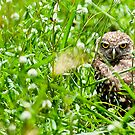 Burrowing Owl by MKWhite