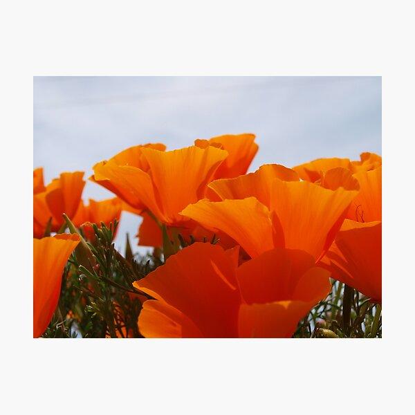 California Poppy #2 Photographic Print