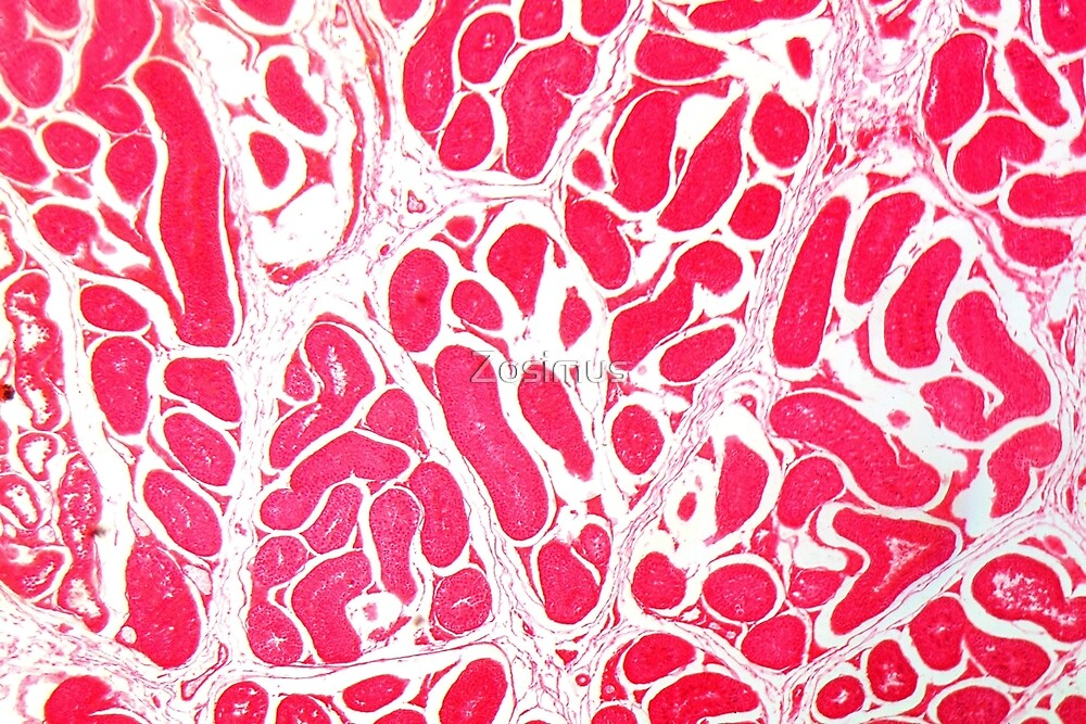 Testicle Cells under the Microscope by Zosimus