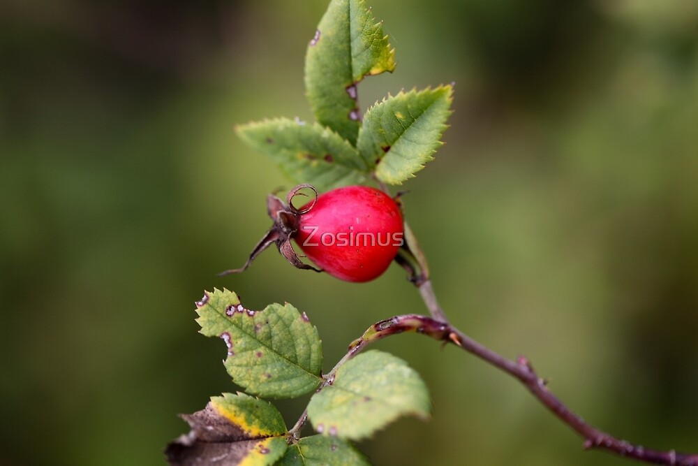 Red Dog Rose Fruit by Zosimus