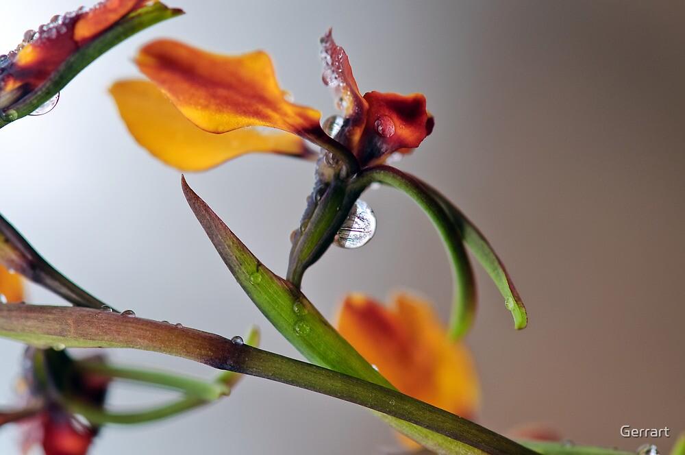 Donkey Orchid Kelmscott Hills by Gerrart