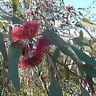 "Eucalyptus Caesia ""Silver Princess"" by LexieMaddock"