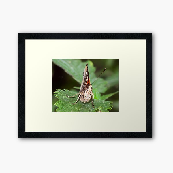 Red Admiral Framed Art Print