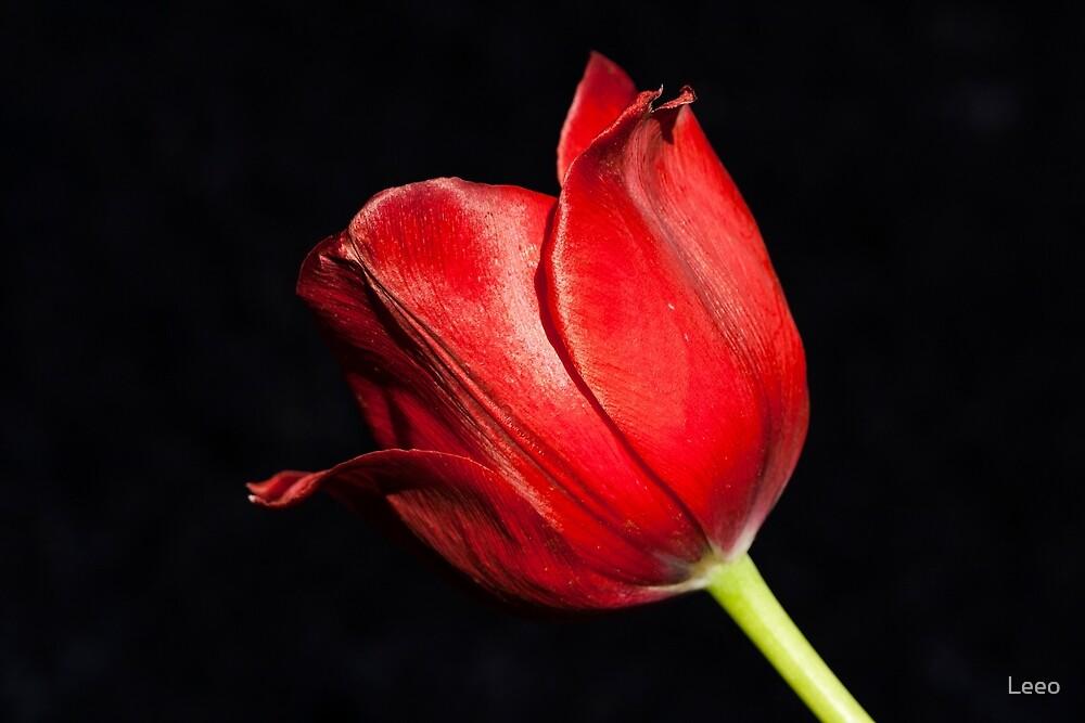 ~ Tulip ~ by Leeo
