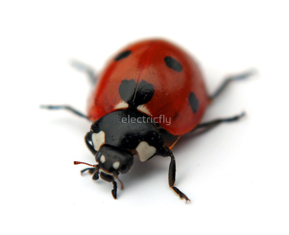 LadyBird by electricfly