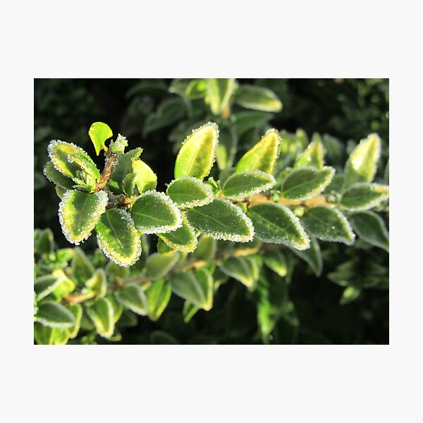 Touched By Frost - Euonymus Photographic Print
