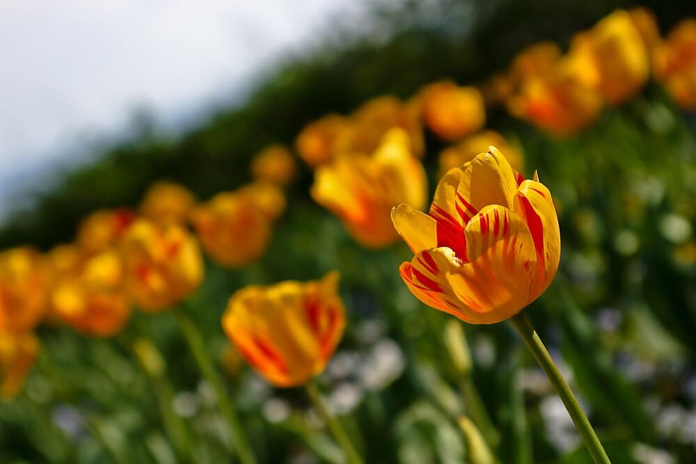 Tulips by awebjam