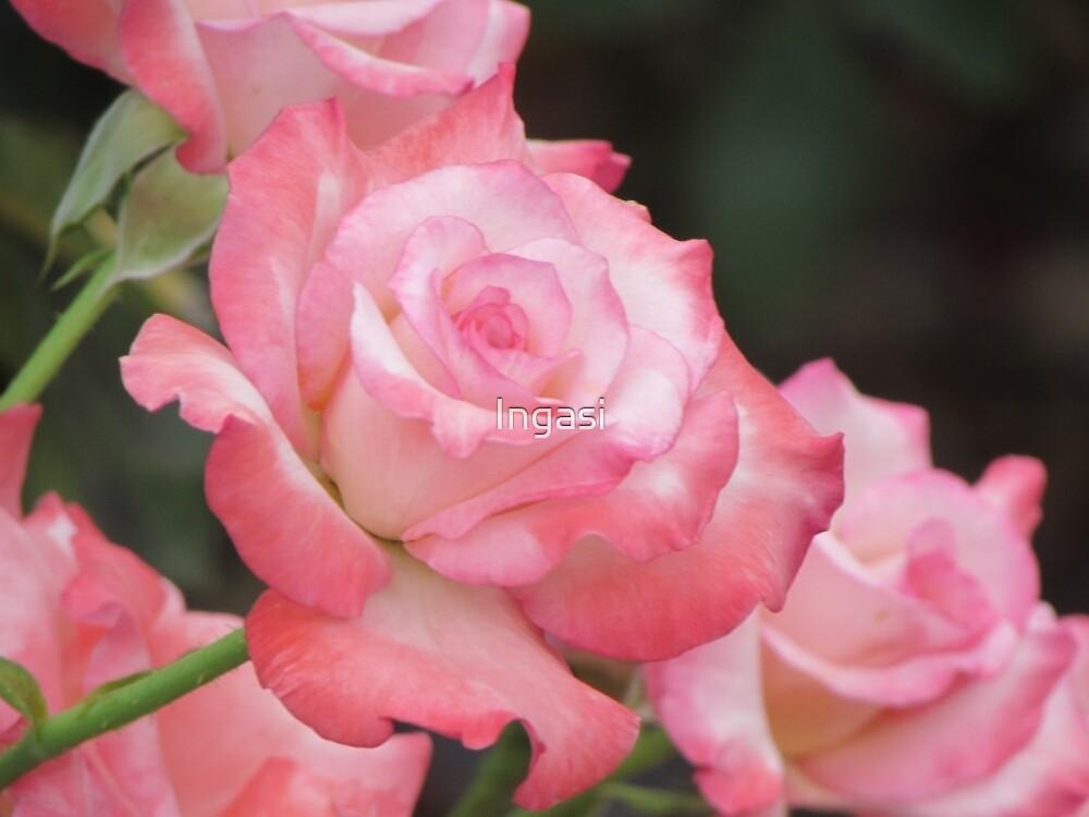 Pink Roses by Ingasi