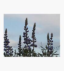 Lupin Sky Photographic Print