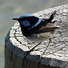 little blue bird by geoffro13