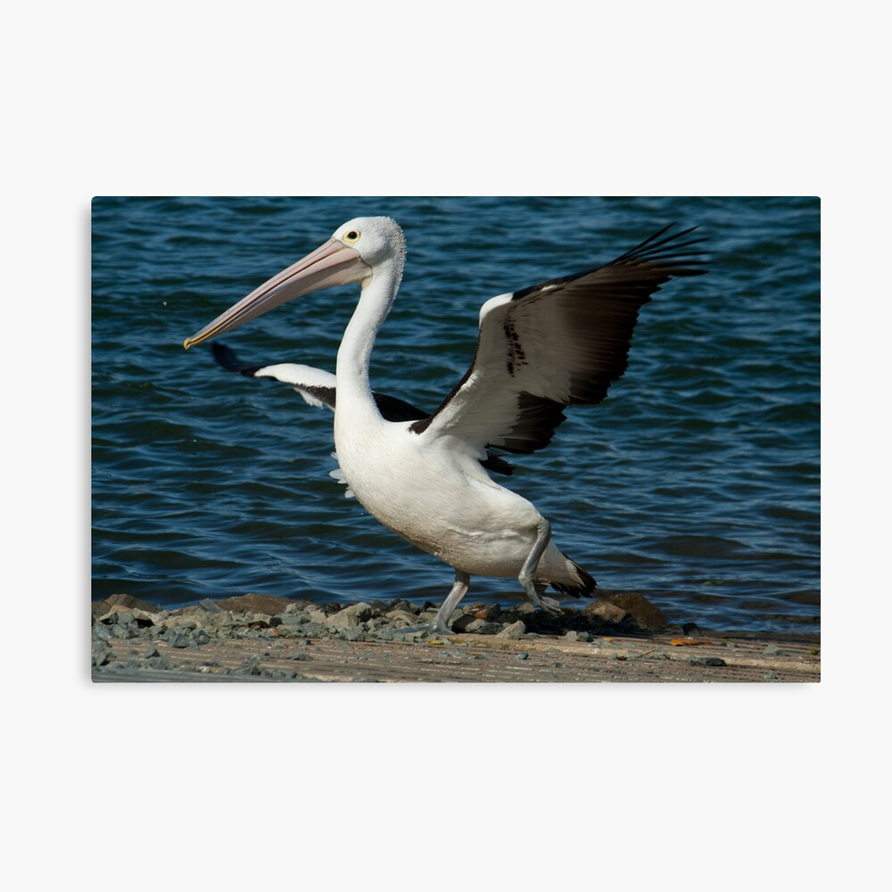 Do the Pelican Dance Canvas Print