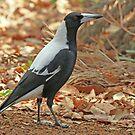 Adult Australian Magpie by Robert Abraham