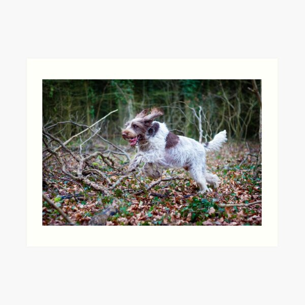 Galloping through the woods Spinone Art Print
