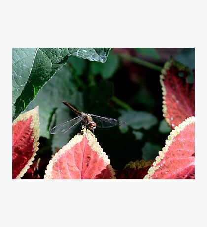 Dragonfly & Colius Photographic Print