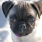 This is Jethro (PUG) 6 weeks old by TJ Baccari Photography