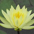 Waterlily after rain by orko