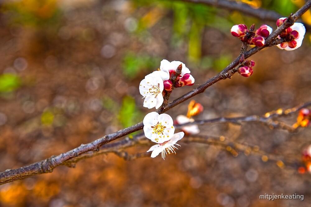 Last little blossoms... by mitpjenkeating