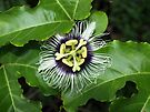 Yellow Passion Fruit Flower by W E NIXON  PHOTOGRAPHY