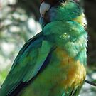 Port Lincoln Parrot - Crystal Brook, South Australia by Dan & Emma Monceaux