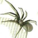 Late Night Visitor - Black House Spider  by Cate Peterson